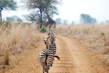 Zebras Walking In Line Royalty Free Stock Photography