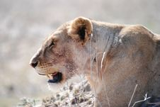 Free African Lioness Royalty Free Stock Images - 6611679