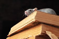 Free Rat  In Library Stock Image - 6612511