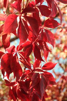 Free Red Leaves Stock Photos - 6612573