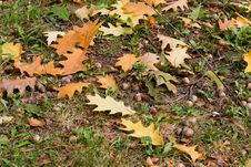 Free Autumn Background,leaf, Acorn. Royalty Free Stock Images - 6613329
