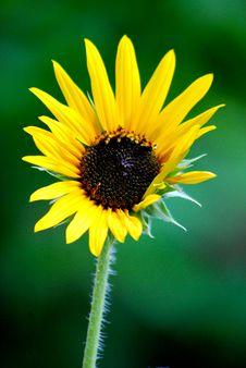 Free Sunflower Single Royalty Free Stock Image - 6613386