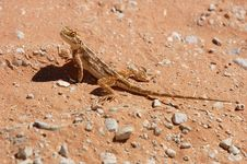 Free Ground Agama Royalty Free Stock Images - 6613859