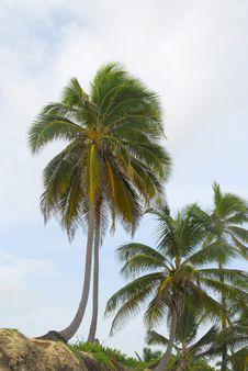 Free Coconut Tree Stock Photography - 6615002
