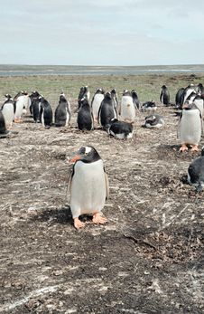 Free Gentoo Penguin Colony Royalty Free Stock Photos - 6615218