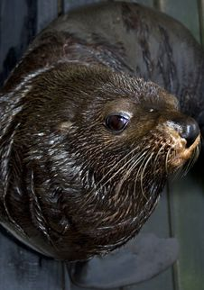 Free Sealion Looking At Lens Royalty Free Stock Photos - 6615858
