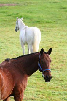 Free Pair Of Horses Royalty Free Stock Photos - 6616058