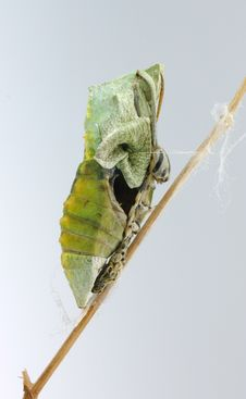 Free Butterfly Pupae Stock Image - 6616811