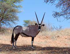Gemsbok Antelope (Oryx Gazella) Stock Photography