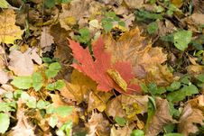Free Maple Leaf Royalty Free Stock Image - 6617316