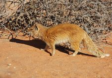 Free Africa: Yellow Mongoose Stock Images - 6617404