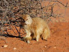 Free Yellow Mongoose (Cynictus Penicillata) Stock Photos - 6617483