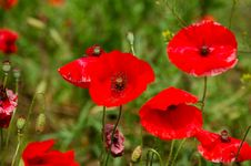 Red Poppy Flowers - Papaveraceae Papaver Rhoeas Stock Photos