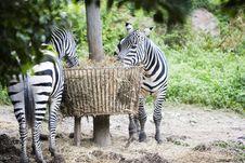 Free Zebra Royalty Free Stock Photo - 6617865