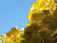 Free Yellow Leaves Royalty Free Stock Photos - 6618278