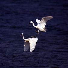 Egrets Stock Images