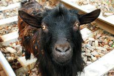 Free Goat Royalty Free Stock Image - 6619106