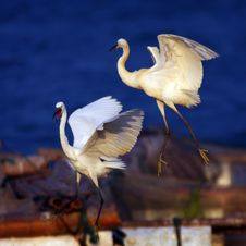 Free Egrets Royalty Free Stock Photo - 6619645