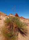 Free Mojave Yuccas Stock Images - 6626384