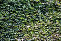 Free Ivy Wall Royalty Free Stock Photo - 6629285