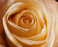 Free Single Orange Rose Royalty Free Stock Image - 6629966