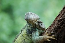 Free Lizard Stock Photography - 6620132