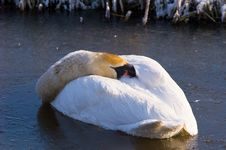 Free Swan Royalty Free Stock Image - 6620346