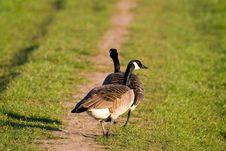 Free Goose Stock Image - 6620351