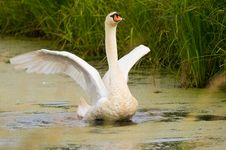 Free Goose Royalty Free Stock Image - 6620436