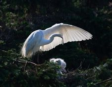 Free Egret Royalty Free Stock Photography - 6620827