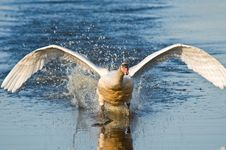 Free Swan Stock Photography - 6620932