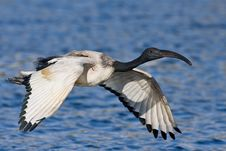 Free African Sacred Ibis Stock Photography - 6620972