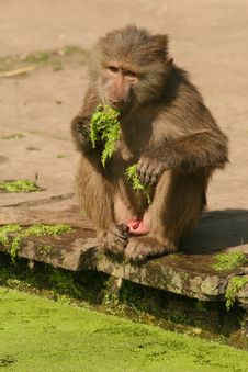 Baboon Eating Royalty Free Stock Image