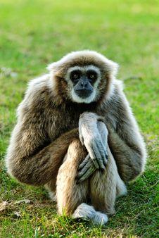 Free Gibbon Royalty Free Stock Images - 6621529