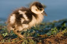 Free Egyptian Goose Chick Stock Photo - 6621530
