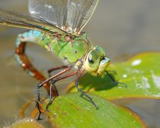 Dragonfly Anax Imperator Royalty Free Stock Images