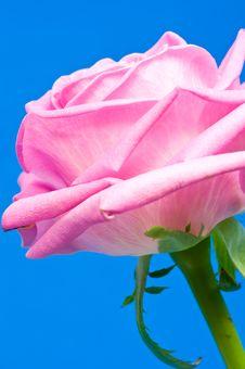 Free Pink Rose Royalty Free Stock Images - 6621749
