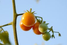 Free Tomatoes At The Field Royalty Free Stock Photos - 6621788
