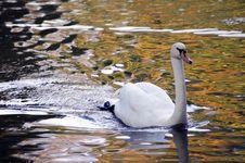 Free Swan Royalty Free Stock Photo - 6622145