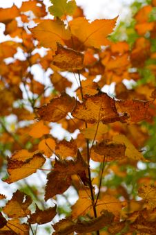 Free Burnt Orange Autumn Leaves Royalty Free Stock Image - 6622356