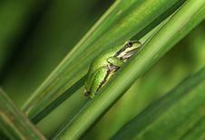 Green Frog On Leaf Stock Image