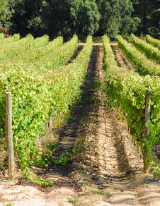 Free View Of A Vinyard Stock Image - 6622501