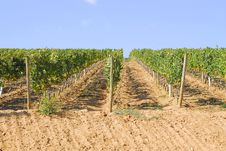 Free View Of A Vinyard Royalty Free Stock Images - 6622579
