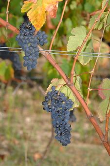 Free View Of A Vinyard Stock Images - 6622624