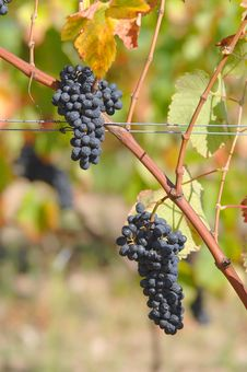 Free View Of A Vinyard Stock Images - 6622704