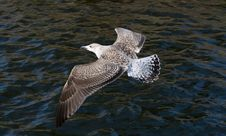 Free Seagull Royalty Free Stock Image - 6622706