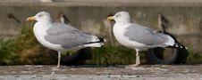 Free Seagulls Stock Image - 6622791