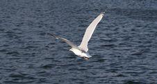Free Seagull Royalty Free Stock Photos - 6622798
