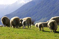 Free Sheep Family Stock Photo - 6622950