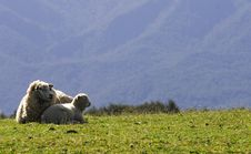 Free Sheep Mother And Son Stock Photography - 6622972